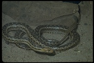 "gopher snake<br /><strong>Author:</strong> <a href=""http://calphotos.berkeley.edu/cgi/photographer_query?where-name_full=Alden+M.+Johnson&one=T"">Alden M. Johnson</a>"