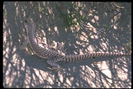 "lizard<br /><strong>Author:</strong> <a href=""http://calphotos.berkeley.edu/cgi/photographer_query?where-name_full=Unknown+(CAS)&one=T"">Unknown (CAS)</a>"