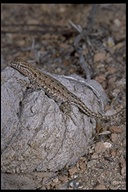 "side-blotched lizard<br /><strong>Location:</strong> Fish Slough (Inyo County, California, US)<br /><strong>Author:</strong> <a href=""http://calphotos.berkeley.edu/cgi/photographer_query?where-name_full=Gerald+and+Buff+Corsi&one=T"">Gerald and Buff Corsi</a>"