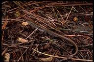 "northern alligator lizard<br /><strong>Location:</strong> Santa Rosa (Sonoma County, California, US)<br /><strong>Author:</strong> <a href=""http://calphotos.berkeley.edu/cgi/photographer_query?where-name_full=Gerald+and+Buff+Corsi&one=T"">Gerald and Buff Corsi</a>"