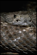 "western diamondback rattlesnake<br /><strong>Location:</strong> Baja California (Mexico)<br /><strong>Author:</strong> <a href=""http://calphotos.berkeley.edu/cgi/photographer_query?where-name_full=Gerald+and+Buff+Corsi&one=T"">Gerald and Buff Corsi</a>"