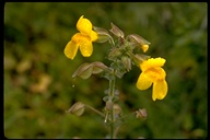 Common Monkey Flower