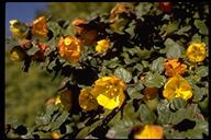 Fremontodendron californicum ssp. californicum