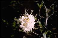Rhododendron occidentale