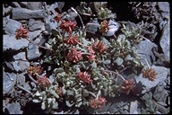 Eriogonum sp.