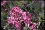 Brewer's Mountain Heather