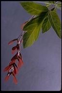 Acer negundo var. californicum