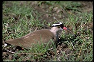 Crowned Lapwing (nest)