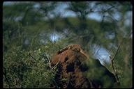 "<strong>Location:</strong> Meru National Park (Kenya)<br /><strong>Author:</strong> <a href=""http://calphotos.berkeley.edu/cgi/photographer_query?where-name_full=Gerald+and+Buff+Corsi&one=T"">Gerald and Buff Corsi</a>"
