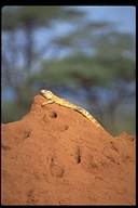 """With new identification from 'Reptiles of East Africa' by Drews and Spawls. Nov 6 2003<br /><strong>Location:</strong> Samburu National Park (Kenya)<br /><strong>Author:</strong> <a href=""""http://calphotos.berkeley.edu/cgi/photographer_query?where-name_full=Gerald+and+Buff+Corsi&one=T"""">Gerald and Buff Corsi</a>"""