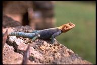 """<strong>Location:</strong> Tsavo National Park (Kenya)<br /><strong>Author:</strong> <a href=""""http://calphotos.berkeley.edu/cgi/photographer_query?where-name_full=Arthur+J.+Emmrich&one=T"""">Arthur J. Emmrich</a>"""