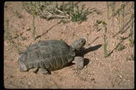 """<strong>Location:</strong> Mojave Desert (San Bernardino County, California, US)<br /><strong>Author:</strong> <a href=""""http://calphotos.berkeley.edu/cgi/photographer_query?where-name_full=Jo-Ann+Ordano&one=T"""">Jo-Ann Ordano</a>"""