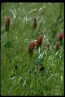 Trifolium incarnatum