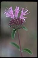 Monardella odoratissima