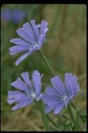 Cichorium intybus