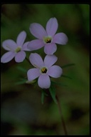 Showy Linanthus