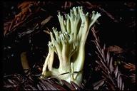 Ramaria abietina