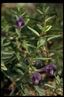 Grey-leaved Skullcap