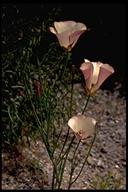 Calochortus catalinae