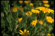 Hairy Goldenaster