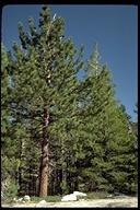 Pinus ponderosa ssp. ponderosa