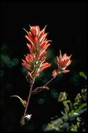 Castilleja miniata ssp. miniata