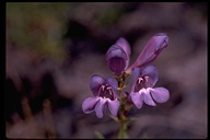 Penstemon sp.