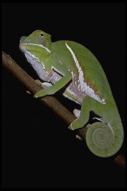 """<strong>Location:</strong> Ranomafana National Park (Madagascar)<br /><strong>Author:</strong> <a href=""""http://calphotos.berkeley.edu/cgi/photographer_query?where-name_full=Gerald+and+Buff+Corsi&one=T"""">Gerald and Buff Corsi</a>"""