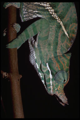 "<strong>Location:</strong> Ranomafana National Park (Madagascar)<br /><strong>Author:</strong> <a href=""http://calphotos.berkeley.edu/cgi/photographer_query?where-name_full=Gerald+and+Buff+Corsi&one=T"">Gerald and Buff Corsi</a>"