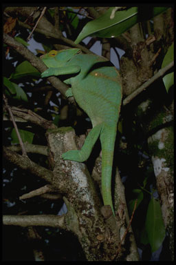 "<strong>Location:</strong> Andasibe National Park, Perinet Reserve (Madagascar)<br /><strong>Author:</strong> <a href=""http://calphotos.berkeley.edu/cgi/photographer_query?where-name_full=Gerald+and+Buff+Corsi&one=T"">Gerald and Buff Corsi</a>"