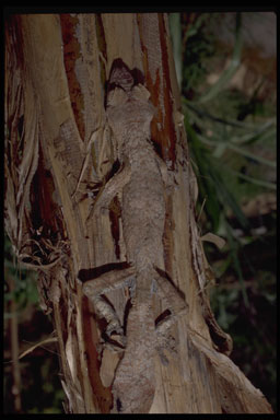 """<strong>Location:</strong> Andasibe National Park, Perinet Reserve (Madagascar)<br /><strong>Author:</strong> <a href=""""http://calphotos.berkeley.edu/cgi/photographer_query?where-name_full=Gerald+and+Buff+Corsi&one=T"""">Gerald and Buff Corsi</a>"""