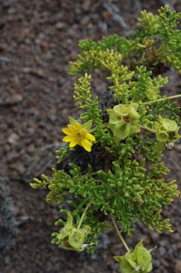 Lecocarpus pinnatifidus image
