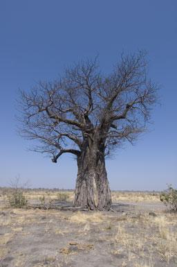 Adansonia image