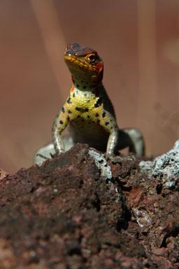 "female<br /><strong>Location:</strong> James Island (Galapagos Islands), Ecuador<br /><strong>Author:</strong> <a href=""http://calphotos.berkeley.edu/cgi/photographer_query?where-name_full=Gerald+and+Buff+Corsi&one=T"">Gerald and Buff Corsi</a>"