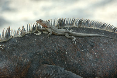 "lizard on marine iguana<br /><strong>Location:</strong> Punta Espinosa (Fernandina Island (Galapagos Islands), Ecuador)<br /><strong>Author:</strong> <a href=""http://calphotos.berkeley.edu/cgi/photographer_query?where-name_full=Gerald+and+Buff+Corsi&one=T"">Gerald and Buff Corsi</a>"