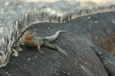 "lizard on marine iguana<br /><strong>Location:</strong> Punta Espinosa (Fernandina Island (Galapagos Islands), Ecuador)<br /><strong>Author:</strong> <a href=""http://calphotos.berkeley.edu/cgi/photographer_query?where-name_full=Gerald+and+Buff+Corsi&one=T"">Gerald and Buff Corsi</a>"