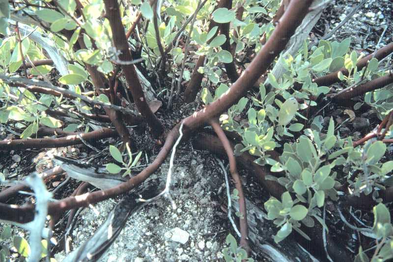 Arctostaphylos glandulosa ssp. gabrielensis