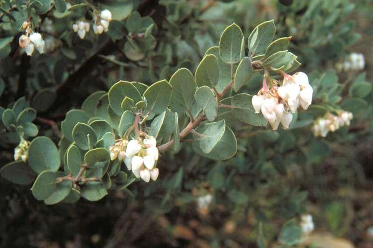 Arctostaphylos obispoensis