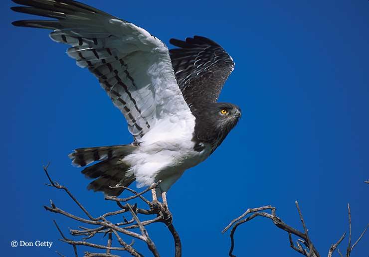 CalPhotos: Circaetus pectoralis; Black-chested Snake Eagle