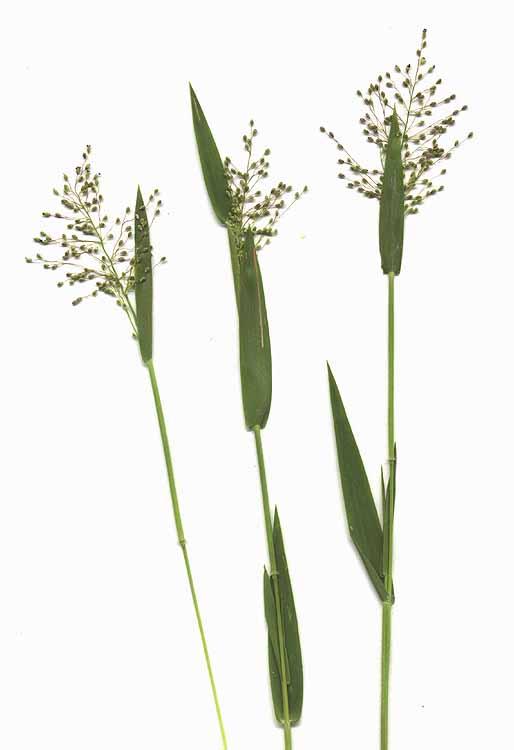 Panicum acuminatum