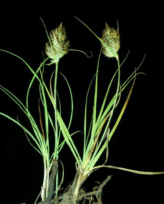 Carex douglasii