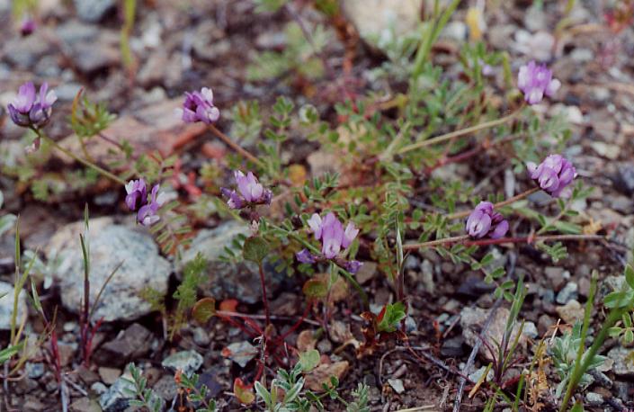 Astragalus gambelianus var. elmeri