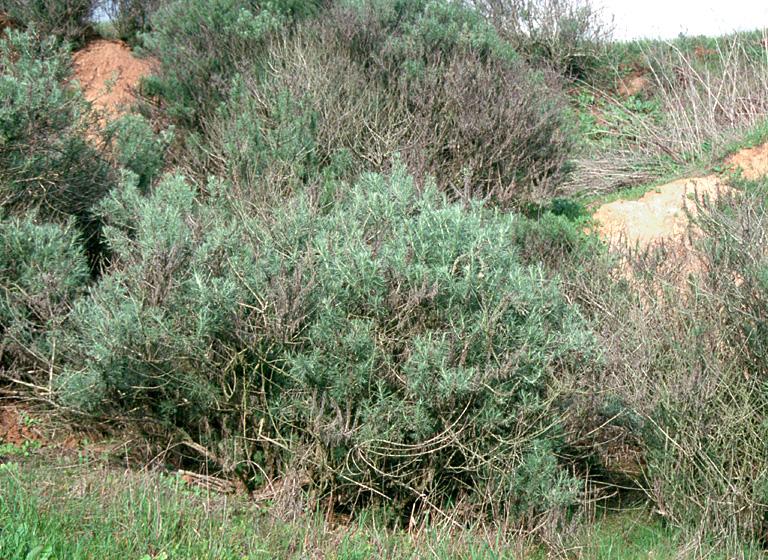 Artemisia Californica CalPhotos: Arte...