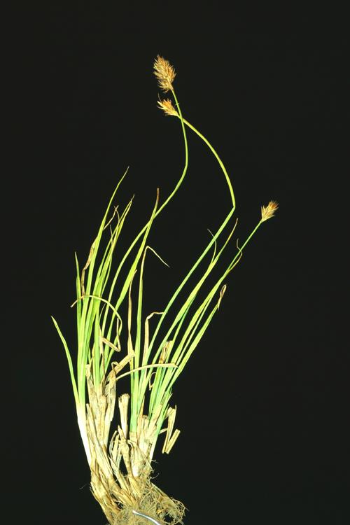 Carex straminiformis