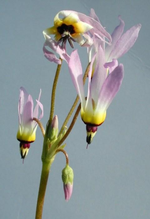 Dodecatheon clevelandii ssp. clevelandii