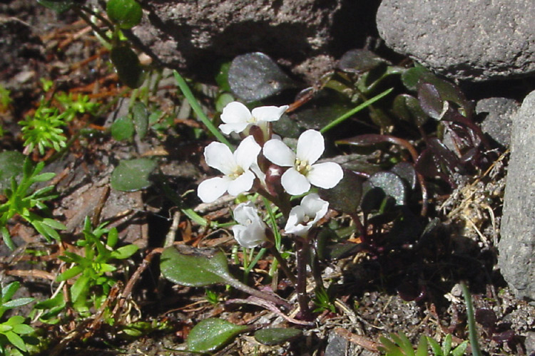 Cardamine bellidifolia var. pachyphylla