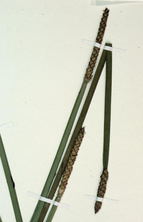 Eleocharis quadrangulata