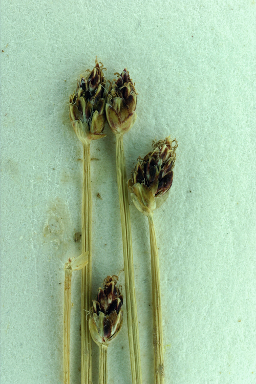 Eleocharis flavescens