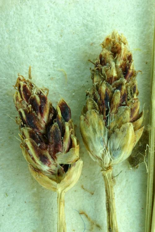Eleocharis flavescens var. flavescens