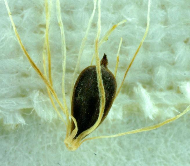 Calliscirpus criniger
